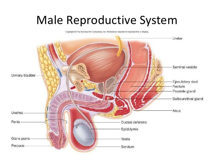 Image Result For Male Reproductive System Major Body Systems