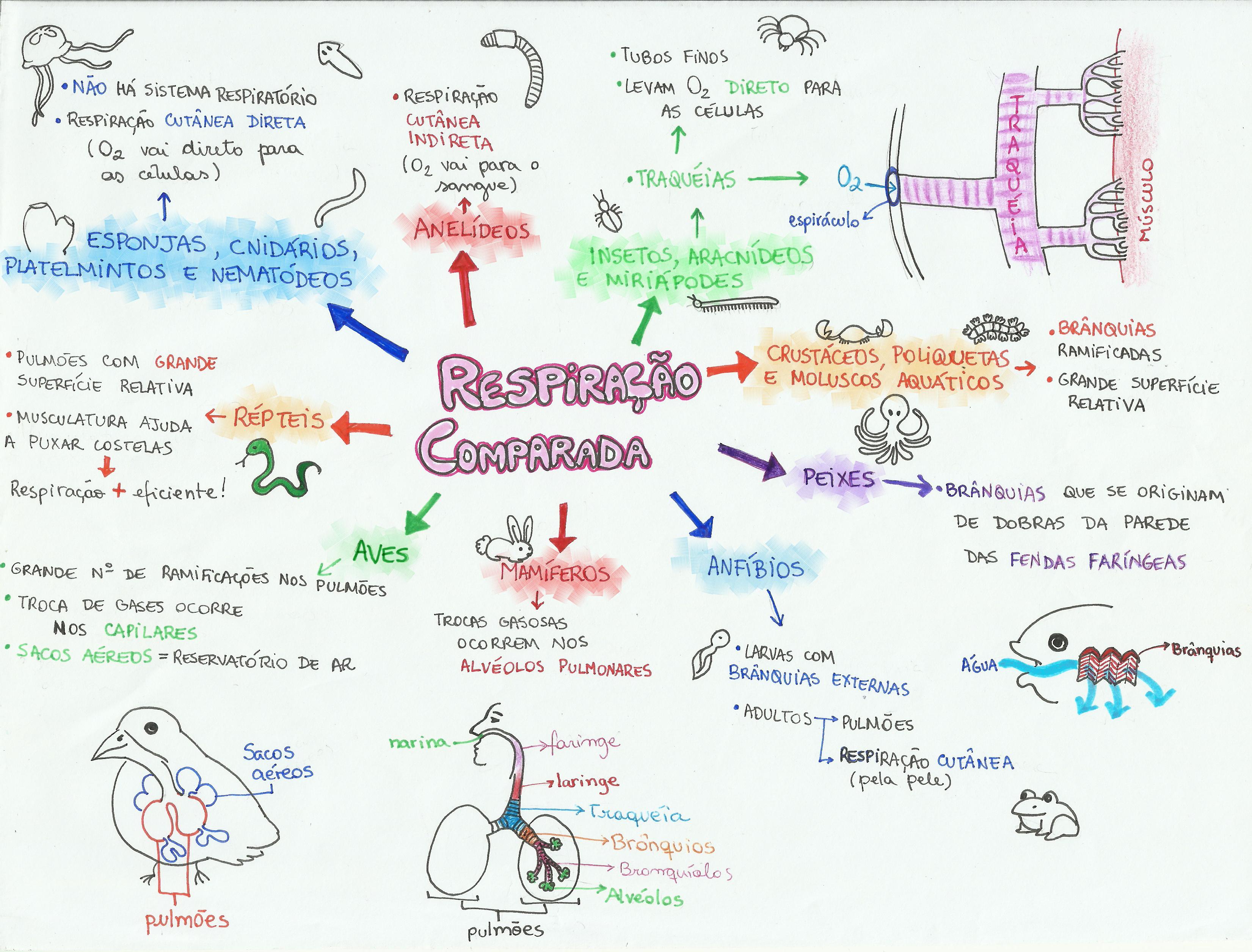 Mapa Mental: Respiração Comparada | Biología, Mapas mentales y Anatomía