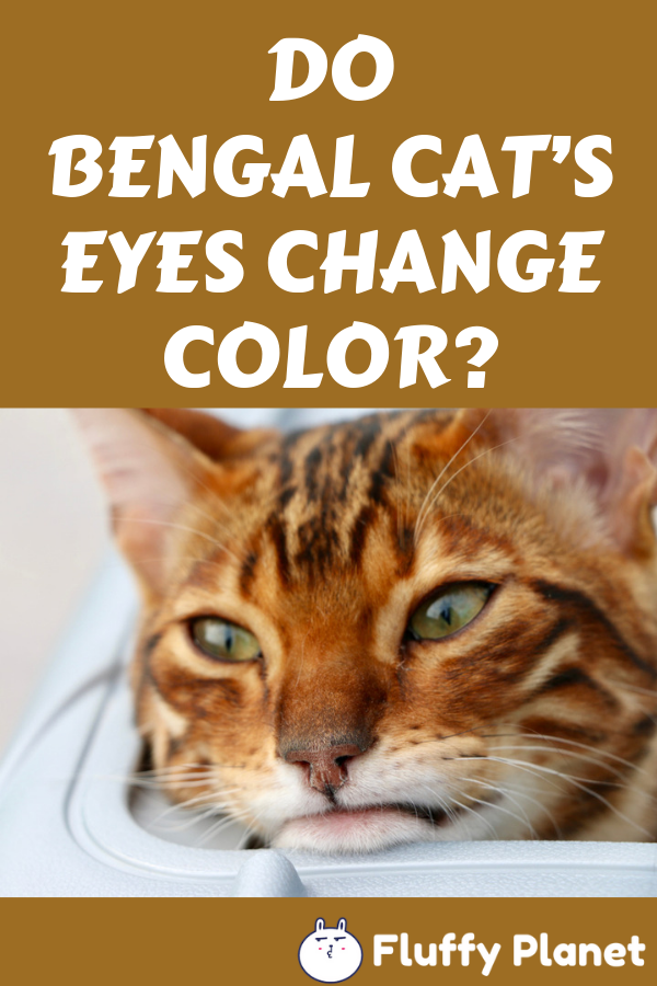 Do Bengal Cat S Eyes Change Color Bengal Cat Eye Color Change Cats