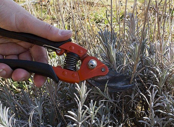Comment tailler et entretenir la lavande conseils jardin id es pour le futur pinterest - Quand et comment couper la lavande ...