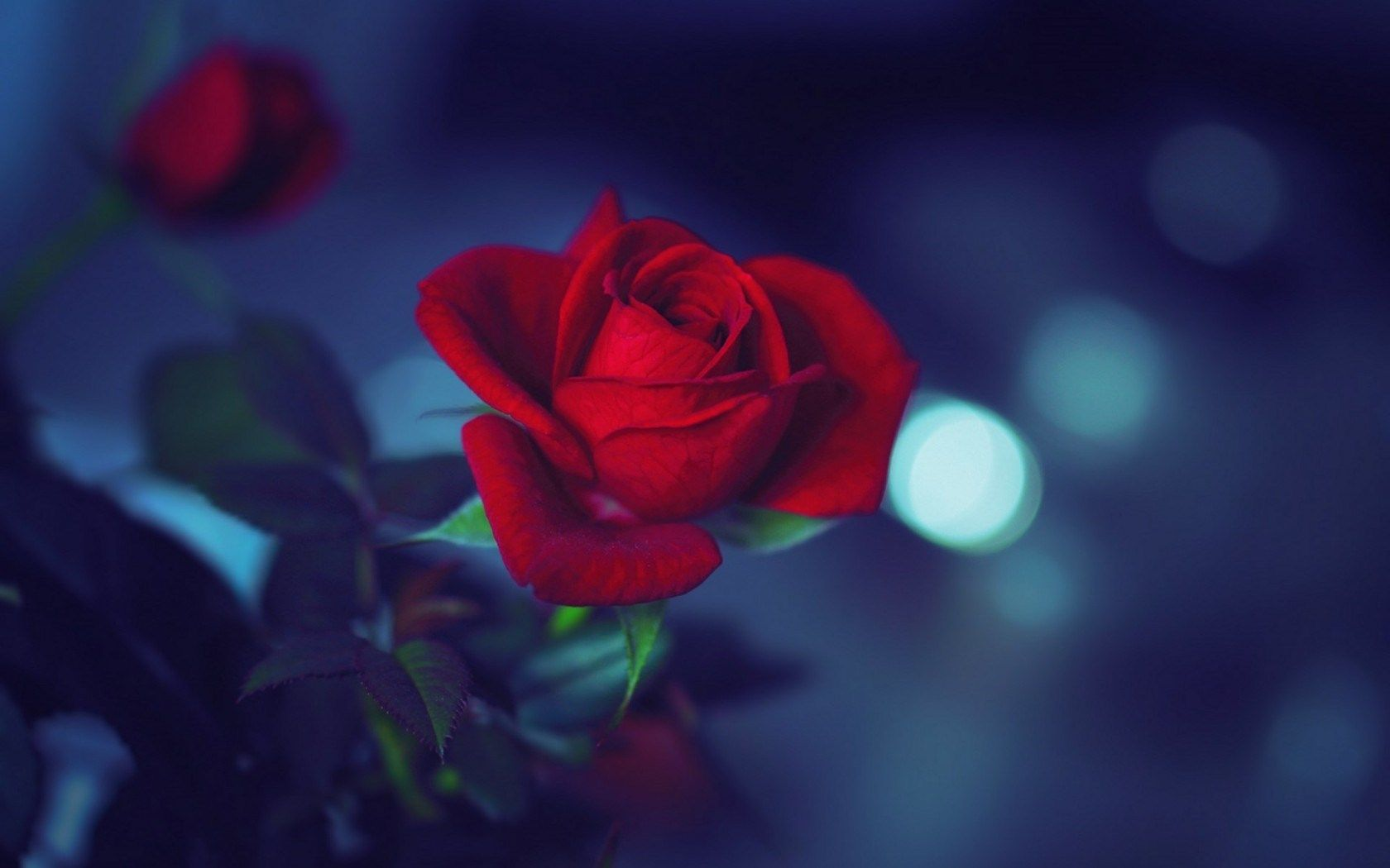 Night flower wallpaper google searchstarwallpapers roses night flower wallpaper google searchstarwallpapers izmirmasajfo
