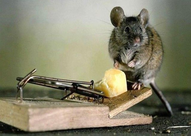 How To Get Rid Of Mice 7 Ways To Oust Impudent Rodents From Your Territory Getting Rid Of Mice Termite Control Pest Control