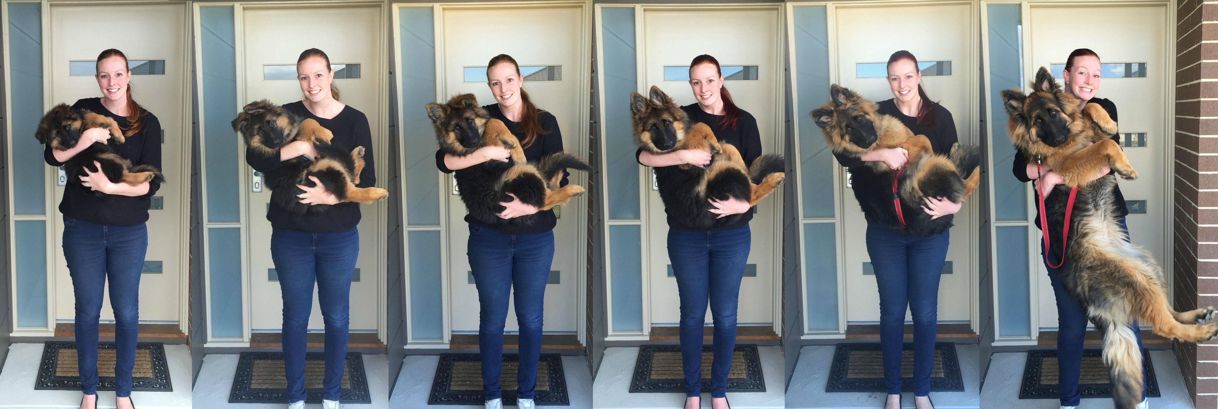 8 Weeks To 8 Months Shepherd Puppies Puppy Growth Chart German