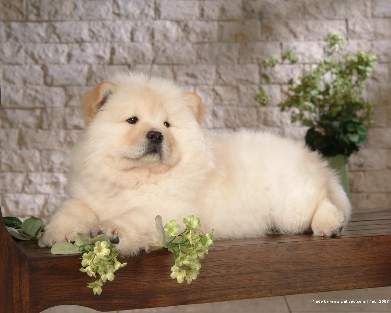 Chow Chow Puppy Wallpaper Chow Dog Breed Bear Dog Breed Chow