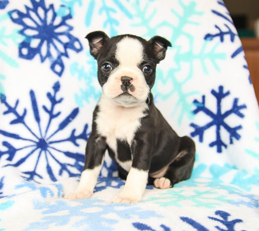 Pin By Miss L On Boston Terriers In 2020 Boston Terrier