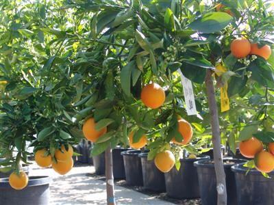 Washington Navel Orange Tree Care Fruit Trees Dwarf