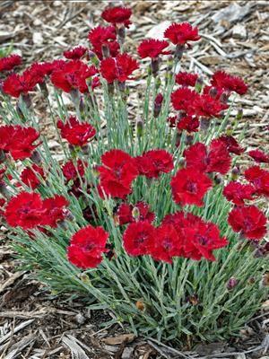 Dianthus Fire Star Blooming Nursery Rock Garden Plants Planters Paths