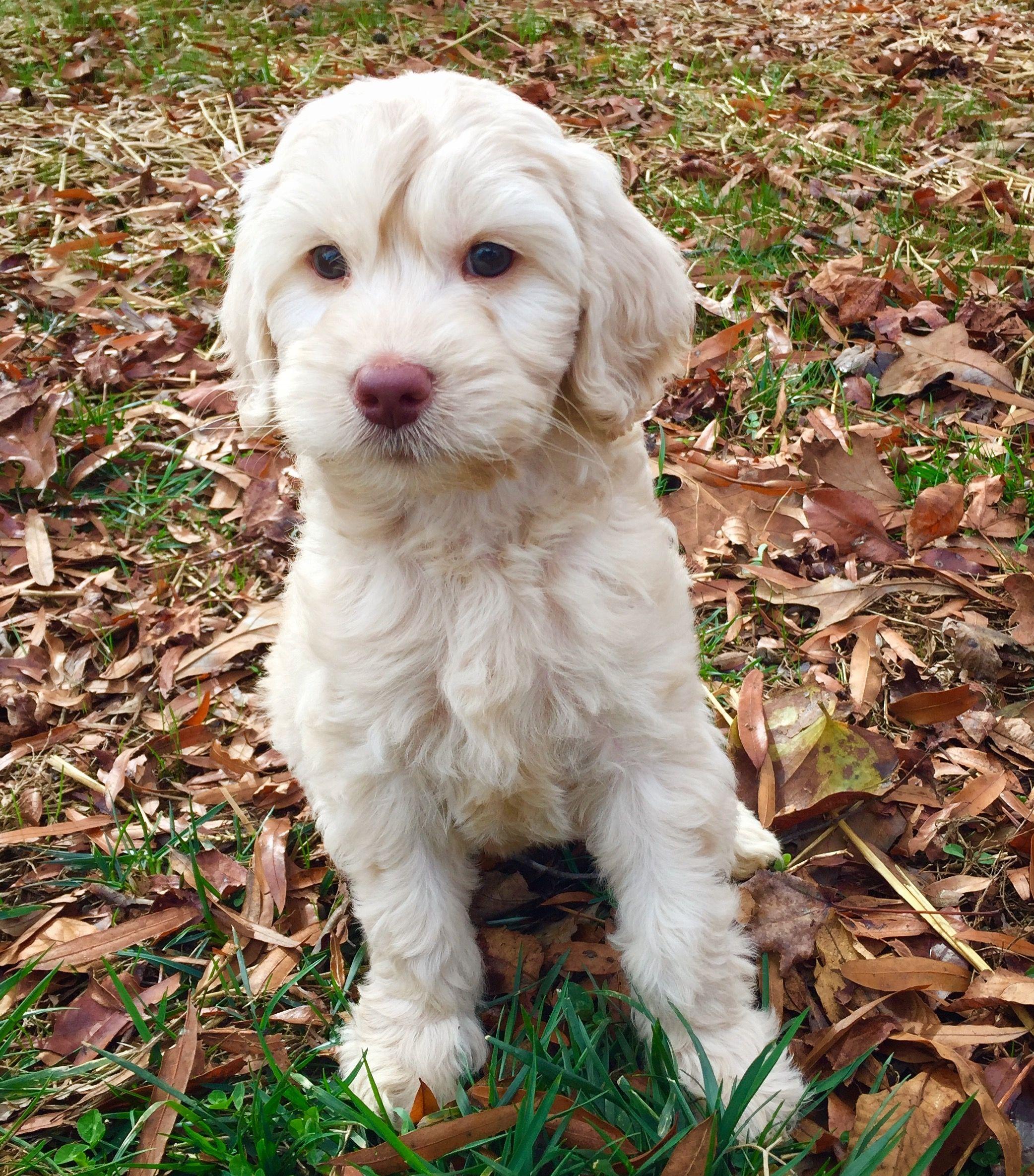 Cute Australian Labradoodle Puppy From Www Carolina Labradoodles Com Australian Labradoodle Puppies Labradoodle Puppy Labradoodle