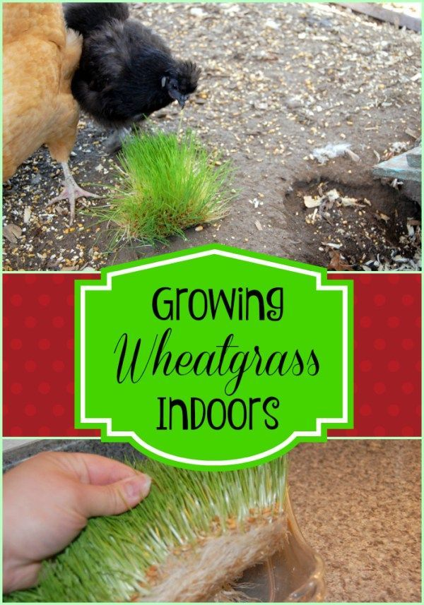 grow wheatgrass indoors #grow #wheat ~ grow wheat - grow wheatgrass indoors - grow wheatgrass at home