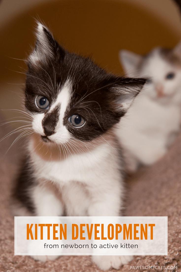 Kitten Development From Newborn To Active Kitten Kittens Cutest Newborn Kittens Kittens Puppies