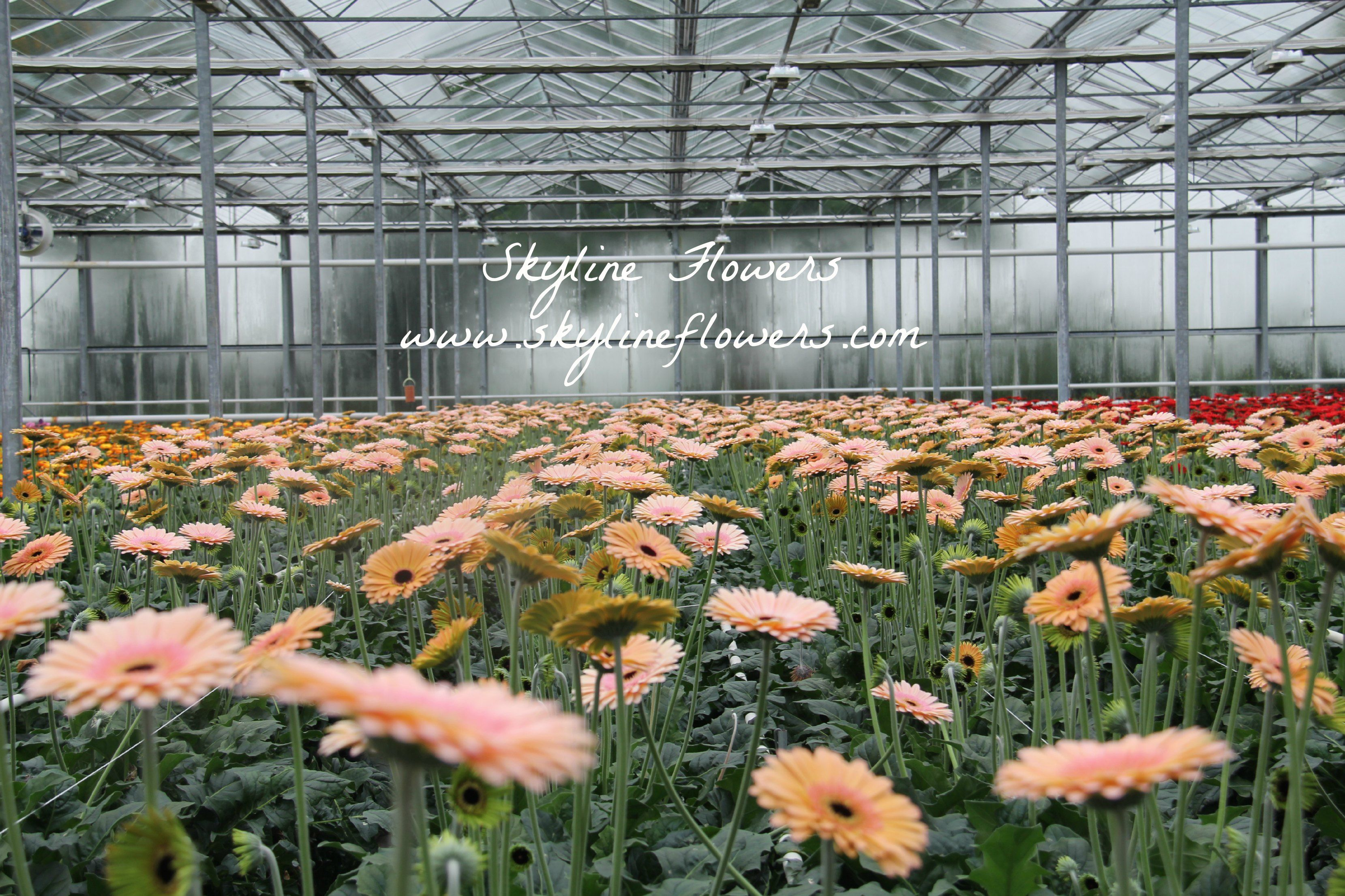 I Believe There Is Beauty In Everything A Look Inside A Gerberas Greenhouse In Holland Florist Holland B V Breeding Pro Gerbera Flowers Flower Company