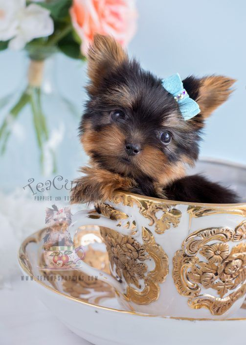 Teacup Yorkie Puppy For Sale In South Florida Www Teacupspuppies