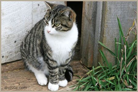 Tabby Cat Personality Cat Personalities White Tabby Cat Tabby Cat