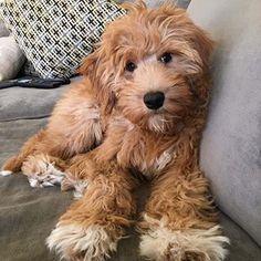 mr  cruiser mini goldendoodle - Google Search   Cute hair