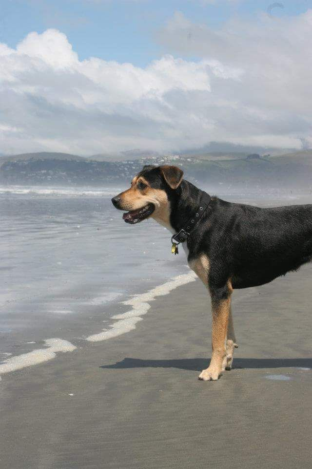 Cassidy Cassy Dog Breeds Dogs Pet Dogs