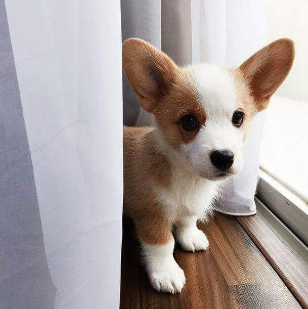 Baby Milo The Corgi Girls Cute Dog Pictures Baby Animals