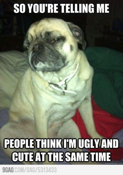 Skeptical Pug Pug Memes Cute Pugs
