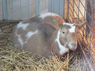 The Thrifty Homesteader: Goats in winter