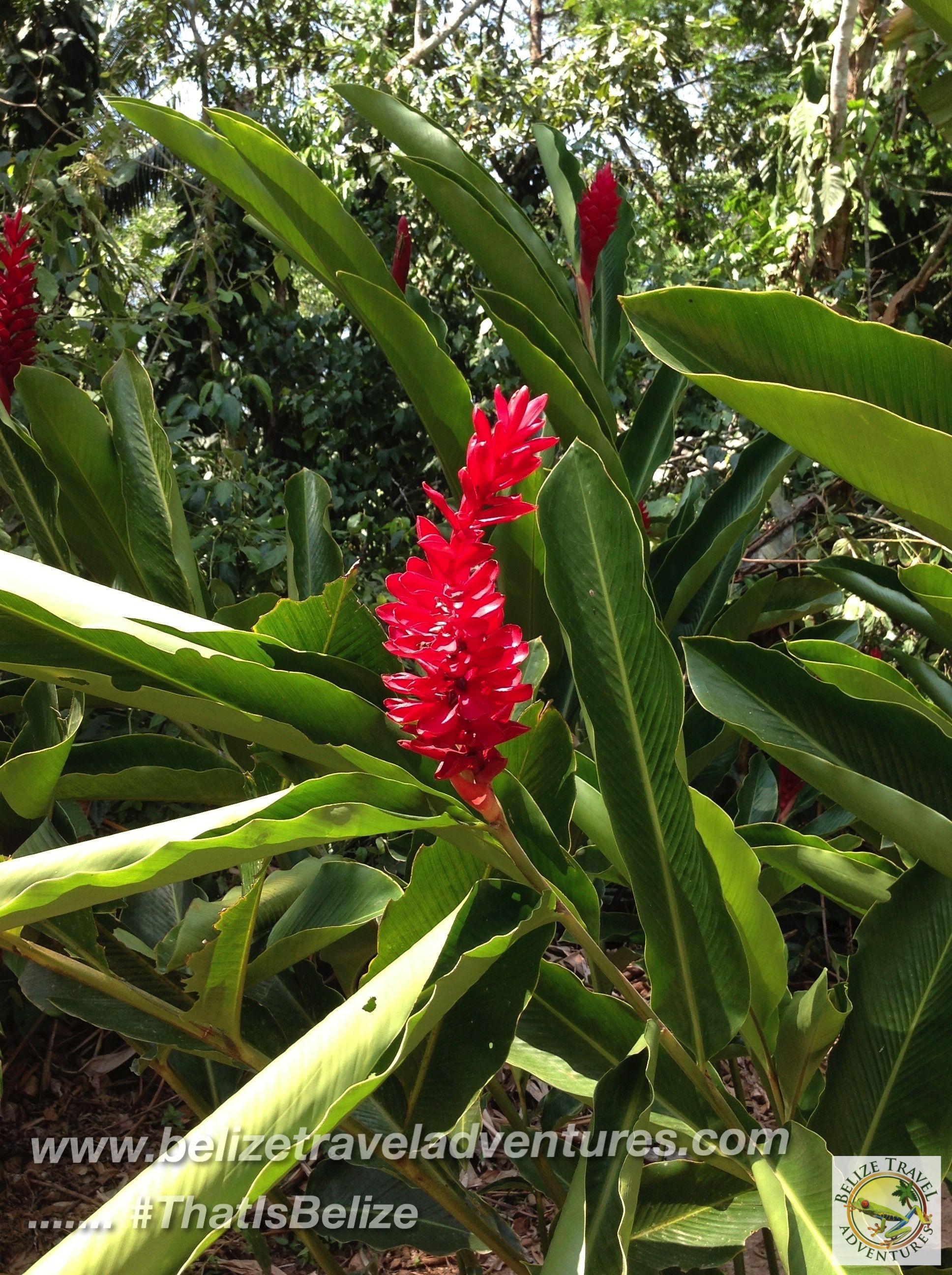 #JungleHike #Ginger #Belize #Flora #Hiking #Adventure