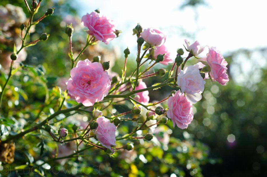 Polyanthia roses