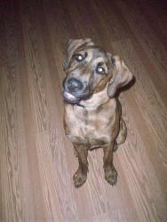 Buddy is an adoptable Great Dane Dog in Grand Haven, MI