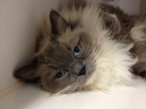 Adopt Sassy On Pet Finder Ragdoll Cat Ragamuffin