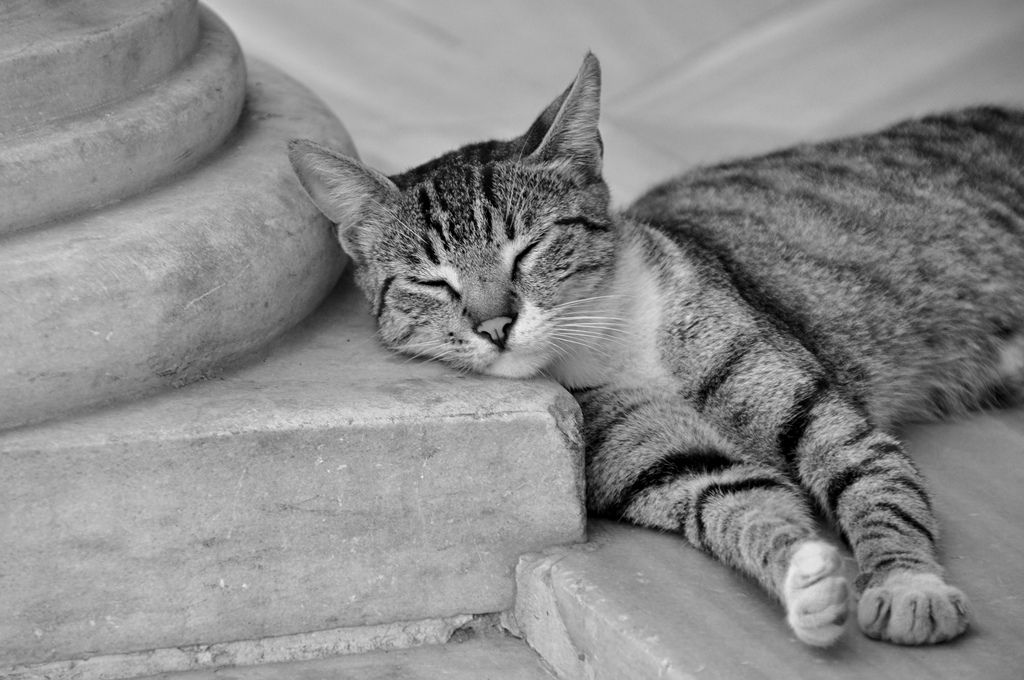 Sweet Dreams Cat Of Istanbul Cats Kittens Cool Cats Cats