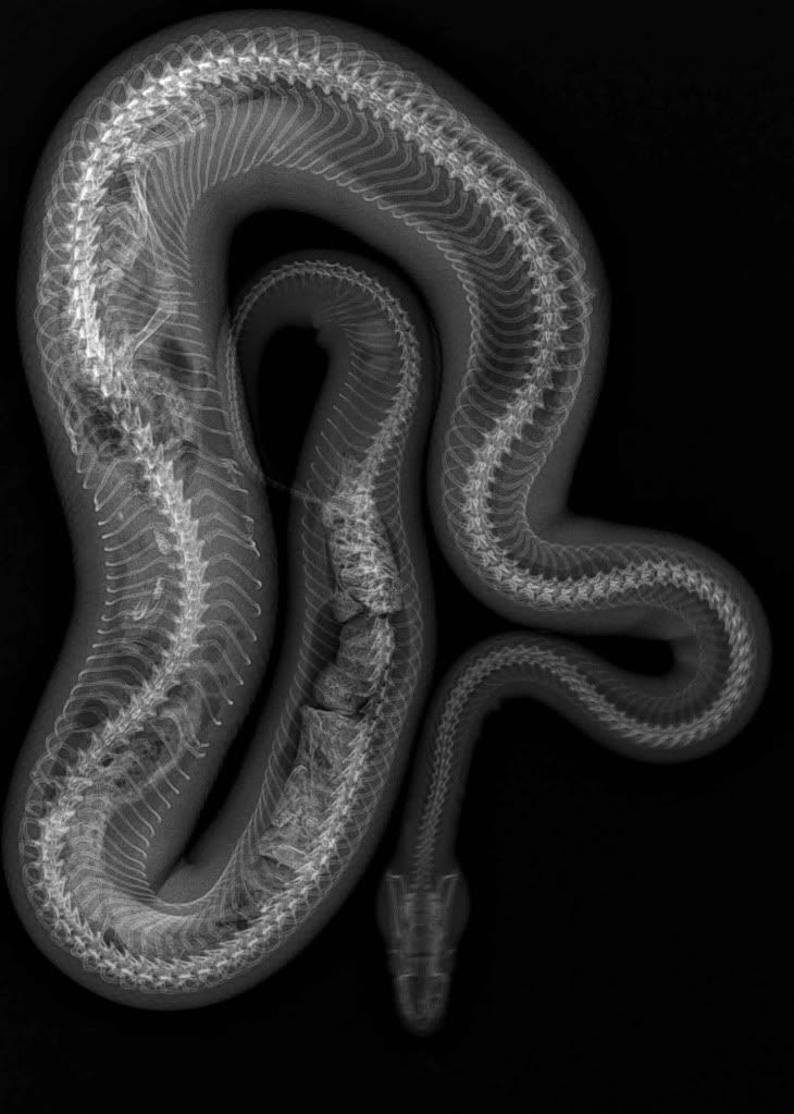 snake xrays | Snake X-Rays.... - CaptiveBred Reptile Forums, Reptile ...