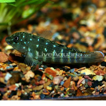 Jeweled Goby Cichlid Minimum Tank Size 30 Gallons Care Level