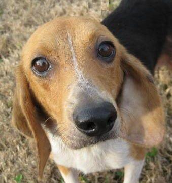 Adopt Babe On Doggie Adoption Beagle Adoptable Beagle Dogs