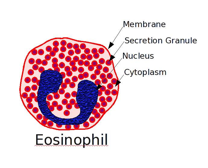 Estructura de un eosinófilo