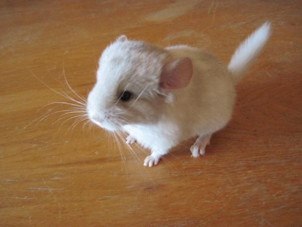 Baby Chinchilla How Can People Kill These Cute Little Animals And