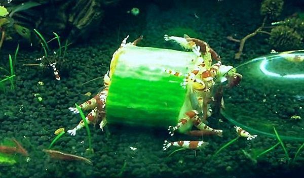 Shrimp Feed The Cucumber Red Cherry Shrimp Cherry Shrimp Shrimp
