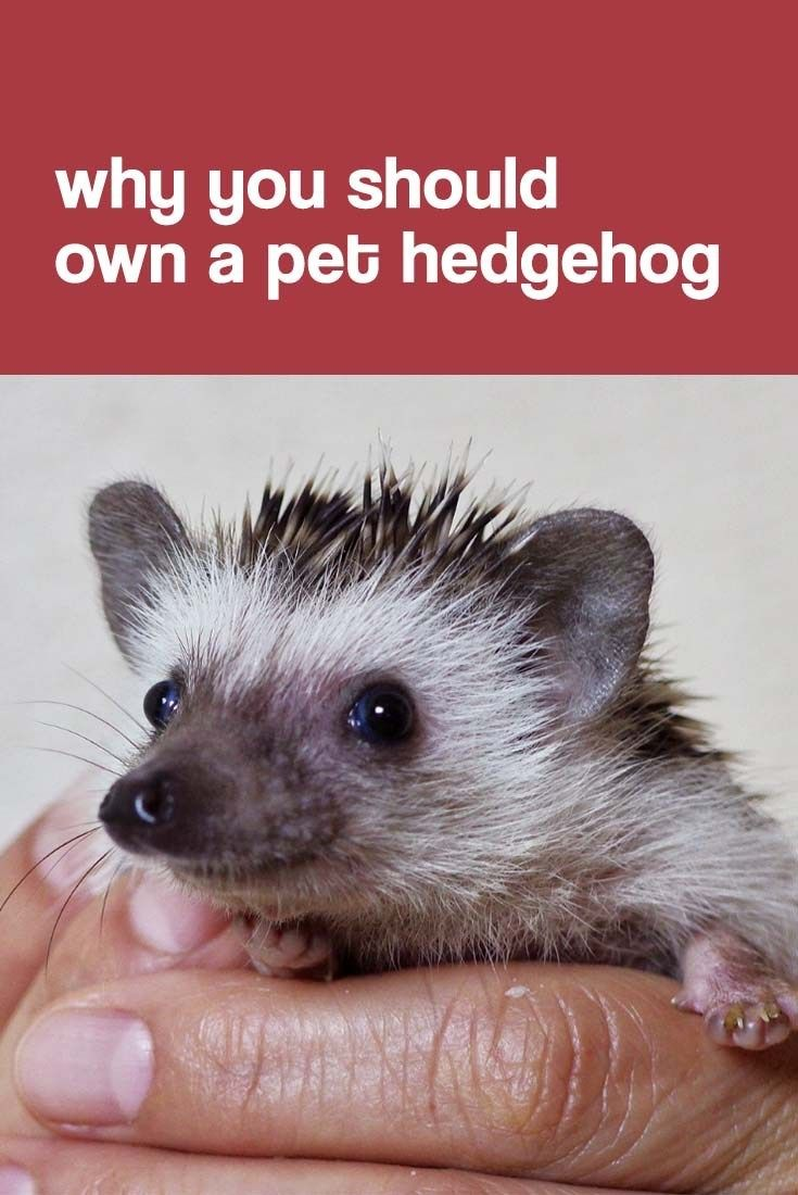Are Hedgehogs Good Pets Why You Should Own A Pet Hedgehog Hedgehog Pet Hedgehogs Pet Care Hedgehog