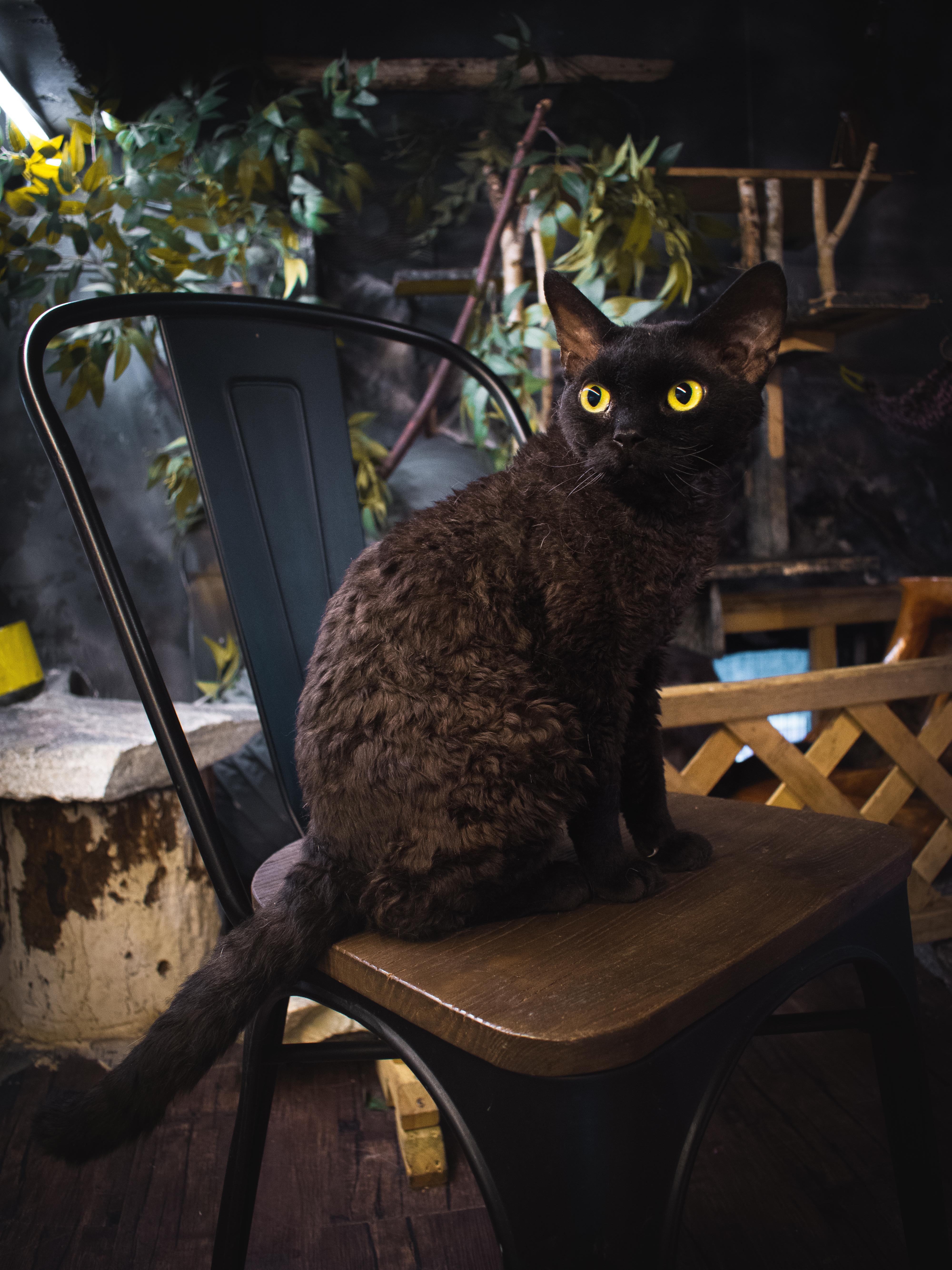Cute curly cat in cat Cafehttps//i.redd.it/3yfkqefpkiz21