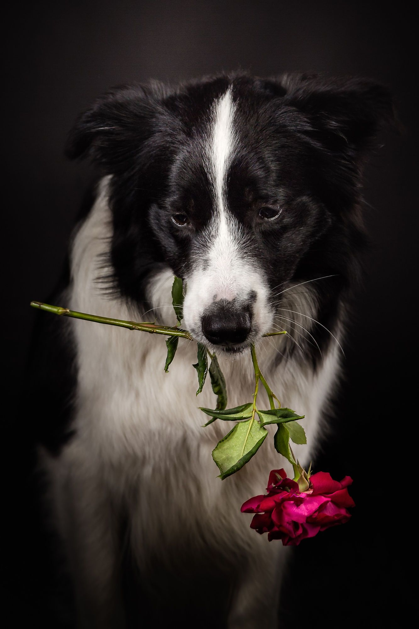 Border Collie With A Red Rose Broken Heart Border Collie Cat Paws