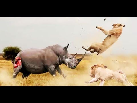 Sounds Most Amazing Wild Animal Attacks Big Battle Animals Real Fight Video Terra Mater Factual Studios Most Amazing Wild Animal Attacks Big Battle Animals Real Fight