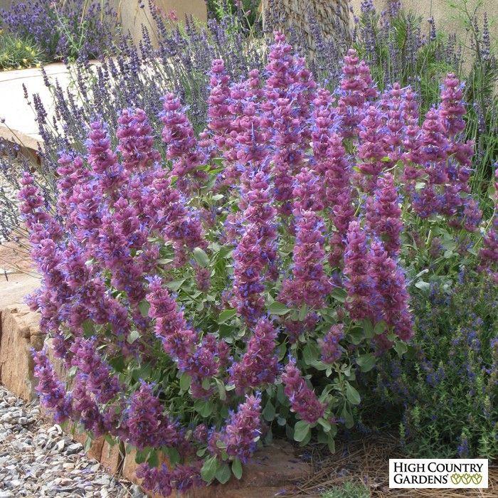 Salvia pachyphylla blue flame blue flame giant purple for Purple flower shrub california