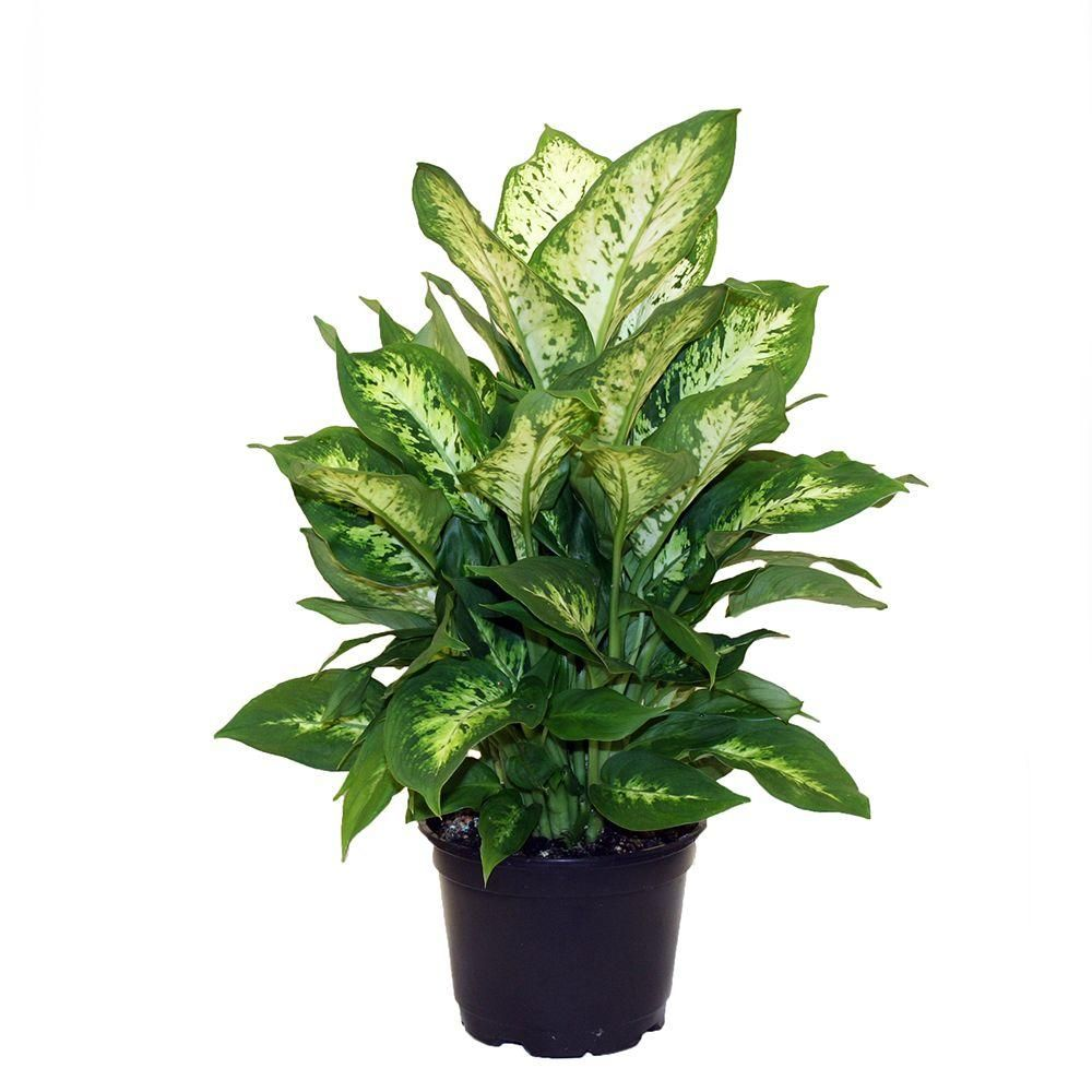 pretty dieffenbachia house plant. Costa Farms Dieffenbachia Exotica in 6  Grower Pot 6EX The Home Depot Plants and Products