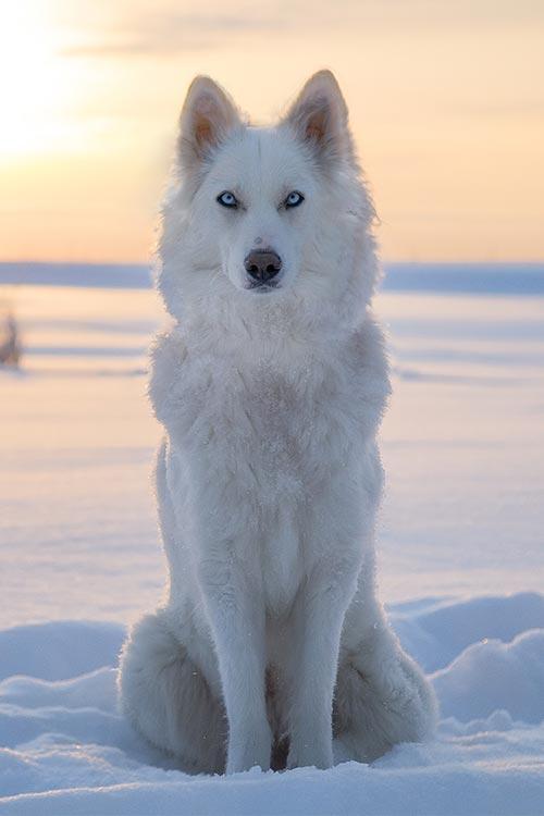 Yakutian Laika Dog Breed Information - American Kennel Club