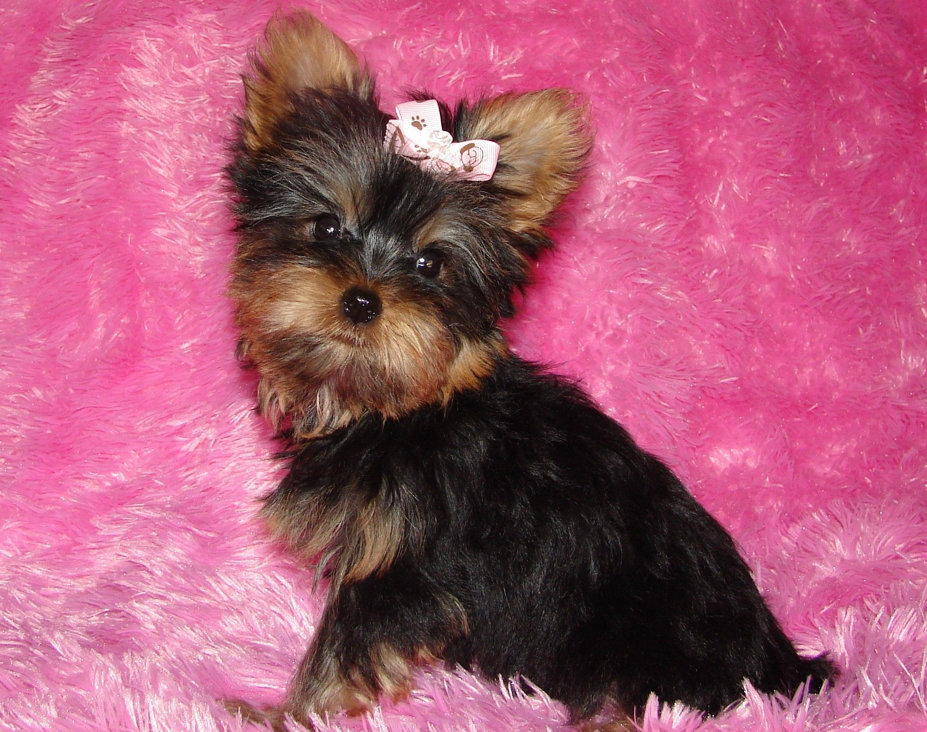 Yorkie Puppies Going to live with Jennifer & Dan in NJ