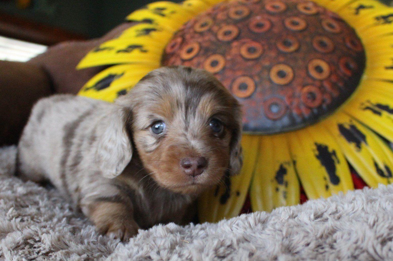 Gallery Dachshund Puppies For Sale Dachshund Dachshund Puppies