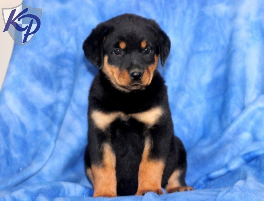 Puppy Finder Find Buy A Dog Today By Using Our Petfinder Puppy Finder Buy A Dog Puppies