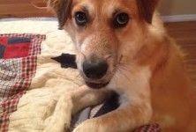 Graham The Dog Liberator Australian Shepherd Border Collie