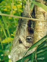 A sloth protects its baby in a Costa Rica jungle.