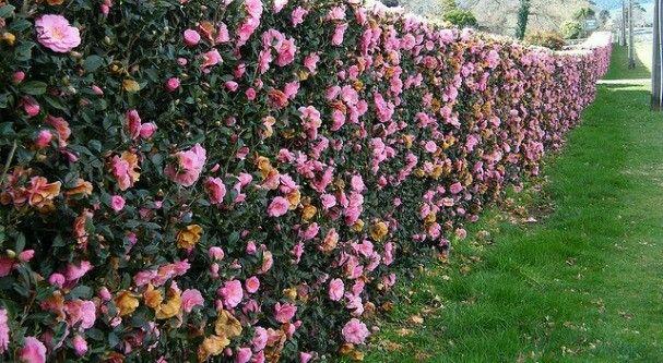 Camellia Sasanqua Hedge Garden Hedges Hedges Landscaping Hedges