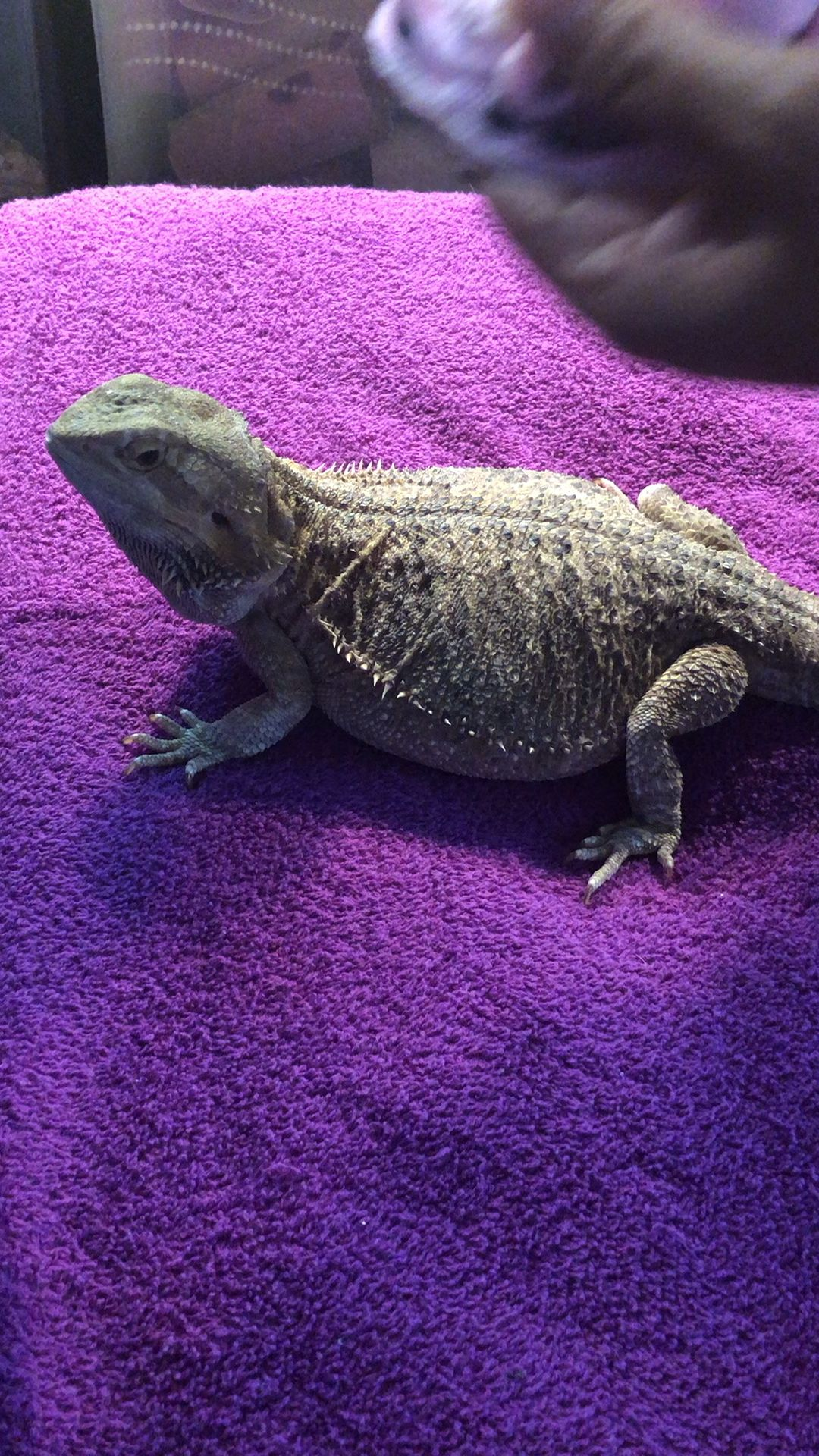 Curious how to put clothes on Bearded Dragons 🤔 so here it is 🤷🏻♀️👍🏼