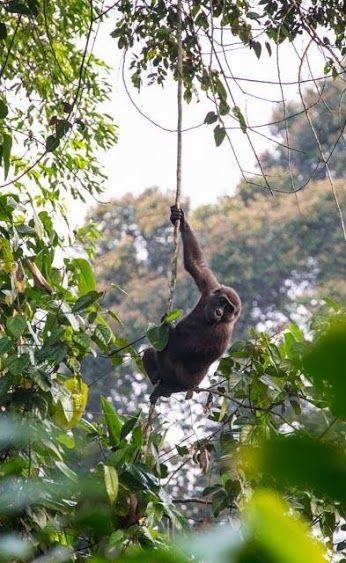 Western Lowland Gorilla in Odzala-Kokoua National Park © Cameron Eward-Smith