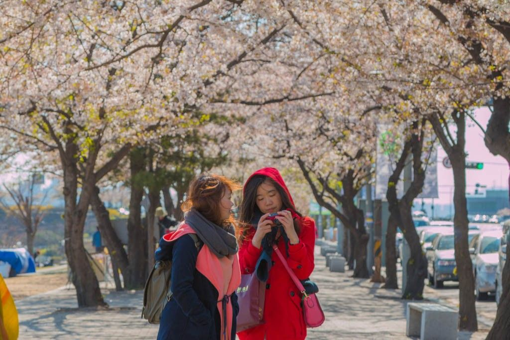Top 5 Cherry Blossom Festivals In South Korea In 2017 Cherry Blossom Festival Cherry Blossom Jeju City