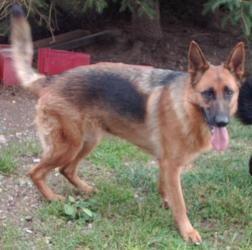 Adopt Hades On German Shepherds German Shepherd Dogs